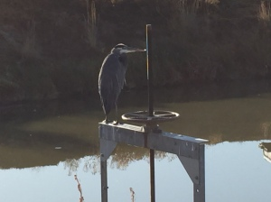 Even this stoic Blue Heron seemed happy as he surveyed the pond.